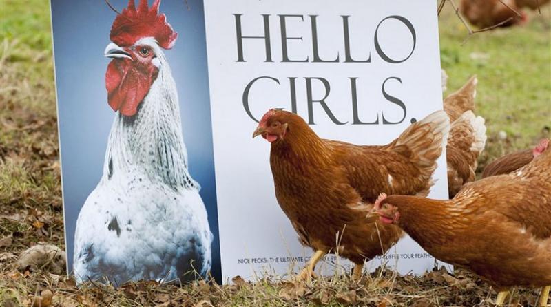 Κόκορας κορίτσια